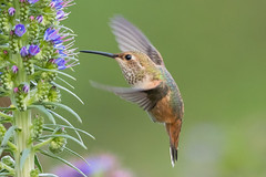 Allen's Hummingbird (X74_3524-1) (Eric SF) Tags: allenshummingbird hummingbird huntingtonbeachlibrarypark california