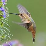 Allen's Hummingbird (X74_3524-1) thumbnail