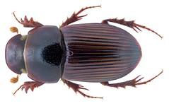 Pharaphodius indicus (Petrovitz, 1958) Syn.: Aphodius (Pharaphodius) indicus (Petrovitz, 1958) (urjsa) Tags: coleoptera käfer beetle insect aphodiidae scarabaeidae aphodiinae aphodius taxonomy:order=coleoptera taxonomy:family=scarabaeidae taxonomy:genus=aphodius india indien geo:country=india indicus aphodiusindicus taxonomy:binomial=aphodiusindicus taxonomy:species=indicus coleopteraus kaefer insekt taxonomy:family=aphodiidae pharaphodiusindicus taxonomy:binomial=pharaphodiusindicus pharaphodius