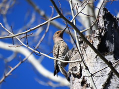 Northern Flicker (Colaptes auratus) (Gerald (Wayne) Prout) Tags: northernflicker colaptesauratus animalia chordata aves piciformes picidae colaptes yellowhammer gafferwoodpecker photographed herseylakeconservationarea cityoftimmins northeasternontario canada prout geraldwayneprout canon canonpowershotsx60hs northern flicker hersey herseylake timmins ontario northernontario birds woodpeckers woodpecker
