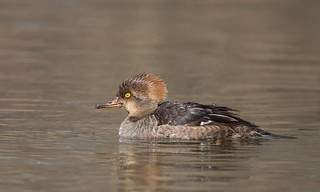 Hooded Merganser juvenile male.