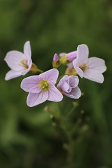 Cuckooflower (Explored) (JulieK (thanks for 8 million views)) Tags: inexplore 100flowers2017 wildflower cuckooflower cardaminepratensis beautifulnature canoneos100d 2017onephotoeachday macro flora wexford ireland iri ladyssmock