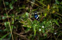 Heliconius sara (azambolli) Tags: butterfly borboleta heliconius brasil insect inseto animal nature natureza