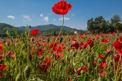 Flowers (Juan R. Ruiz) Tags: flowers flores red green campos fields spring girona gerona cataluña catalunya españa spain europe europa canon canoneos60d canoneos eos60d