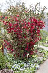IMG_0348 (vargabandi) Tags: chaenomeles vargabandi garden red blossom