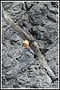Gypaète 170407-101-RLP (paul.vetter) Tags: oiseau ornithologie ornithology faune animal bird gypaètebarbu gypaetusbarbatus bartgeier quebrantahuesos beardedvulture vautour rapace