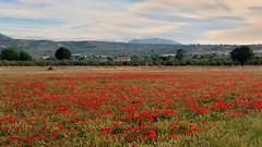 Campo de amapolas. (VV - dí.) Tags: red campodeamapolas paisaje