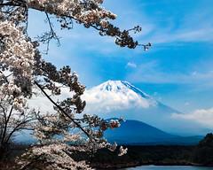 2017 Fuji and Sakura (shinichiro*@OSAKA) Tags: 20170425sdq4211 2017 crazyshin sigmasdquattro sdq sigma1770mmf284dcmacrohsm april spring fuji japan jp sakura cherryblossoms lakeshojii 富士 精進湖 34190821470 1087689 201705gettyuploadesp