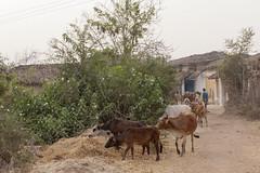 Kawardha - Chhattisgarh - Idia (wietsej) Tags: kawardha chhattisgarh idia sonyalphadslra900 a900 sal70200g 70200 landscape india cows cattle rural village