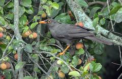 IMG_5593 Great Thrush (suebmtl) Tags: bird birding ecuador puembobirdinggarden pichinchaprovince turdusfuscater 123birds