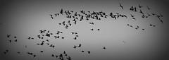 Breent Goose (ertugrulderya) Tags: uk england streetphotography streetphotographer photographer photography people travel traveller night nikon nikonphotography nightcolor swan bird lake door colors love sea travelhotographer outdoor water morston morstonquay boat oldboat newboat sail lovephotography goose breentgeese breentgoose