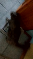 Josie's usual behaviour (~ MCJ) Tags: josie rescue cat 10yo greybluecreamtortoiseshell cardiomyopathy josiemeowing