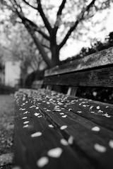 20170402 Nishio 2 (BONGURI) Tags: 西尾市 愛知県 日本 jp bench woodenbench 木のベンチ 木製 ベンチ monochrome bw モノクロ モノクローム 白黒 petal 花びら cherryblossom cherrytree blossomtree blossom 桜 さくら サクラ flower 花 genkuin temple 源空院 仏教 寺院 寺 nishio 西尾 aichi 愛知 nikon afsnikkor28mmf18g