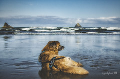 19/52 - all I need... (yookyland) Tags: 52weeksfordogs misty 2017 1952 dog beach oregon coast pacific pnw blue sunrise seastacks water reflection waves