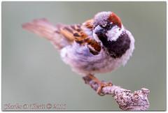 House Sparrow (Male) (ctofcsco) Tags: 14x 14xii 11600 1div 40 560mm bird canon colorado coloradosprings digital ef ef400mmf28liiusm ef400mmf28liiusm14x eos eos1dmarkiv esplora bokeh explore explored geo:lat=3893083779 geo:lon=10489145279 geotagged gleneyrie nature northamerica telephoto wildlife extender f4 housesparrow male photo pic pretty renown sparrow supertelephoto teleconverter unitedstates usa