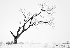 A Prairie Wind... [Explored] (/ shadows and light) Tags: beausejour manitoba baretrees trunk leafless bw monochrome trixgrain landscape stark cold snow winter austere bleak barren desolate windswept