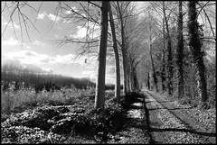 Saint Jean du Bois (Sarthe) (gondardphilippe) Tags: saintjeandubois sarthe maine paysdelaloire monochrome forêt arbre