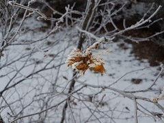 Haselnüsse (eagle1effi) Tags: hazel nut nuts s7 snow haselnüsse