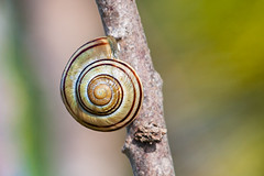 Snail Shell on a Branch. (PebblePicJay) Tags: snail shell branch nature green canon xsi round spiral