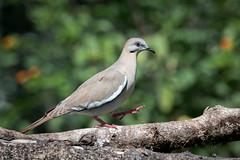 White-winged Dove (Melis J) Tags: bird costarica dove doves whitewingeddove zenaidaasiatica nikond500 nikon200500