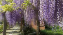 Pergolato di Glicine (Aellevì) Tags: avviluppata grappoli profumo fiori viola pendente fioreprimaverile sfumatura pali aellevì primavera spring