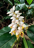 Alpinia in Bloom (cowyeow) Tags: fungyuenbutterflyreserve taipo hongkong fungyuen flower flowers white big forest part asia asian nature garden china chinese 鳳園蝴蝶保育區 alpinia gingerlily