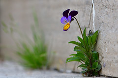 Violetta sola soletta (luporosso) Tags: natura nature naturaleza naturalmente nikon nikond500 nikonclubit nikonitalia imdifferent viola fiori fiore flowers flower fleur flor