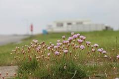 Salswiesenblumen auf dem Campingplatz (perspective-OL) Tags: stad stadland sehefelder moor schwimmendes national park nationalpark nordsee jadebusen watt watvögel sehestedt deich