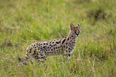 Serval - Masai Mara Kenya (Mathieu Pierre) Tags: kenya sunset maasai mara safari f28 7d canon eos vanguard tripod grip 7dmark2 sunlight wildlife africa 300mmf28 goldenlight sunrise 7dmarkii big cat cuteanimal beautiful serval theservalcat huntingserval masaimara maasaimara