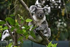 Koala (無尾熊) (scv1_2001) Tags: nikon nikon70200mmvrii nikond750 taiwan taipeizoo 台北市立動物園