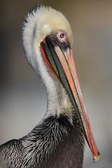 EOS27318 View large. Brown Pelican. Oceanside Pier. Oceanside, San Diego (E.W. Smit Wildlife) Tags: brownpelican pelican ef500mmf4lis ef500mmf4lis14x ef500mmf4lisusm ef500mmf4lisusm14x canonef500mmf4lisusm canonef500mmf4lis14x canonef500mmf4lisusm14x gitzo gitzotripod g1325mk2 gitzog1325mk2 gitzog1325mk2tripod gimbalhead wimberley wimberleygimbalheadwh200 wimberleygimbalhead wimberleywh200 1dsmarkiii canon1dsmarkiii canoneos1dsmarkiii aquaticbird wildanimals animal animals wildanimal tourist tourists telephotolens tripod unitedstatesofamerica usa outdoor outdoors supertelephotolens ocean oceanside oceansidecalifornia oceansidepier pacificocean bird birds avian socal southerncalifornia california depthoffield canon nature wildlife canonef500mmf4lis