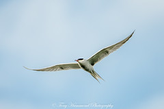 Common Tern in Flight (phat5toe) Tags: tern birds avian feathers flight wildlife nature wigan flashes greenheart nikon d7000 tamron150600mm
