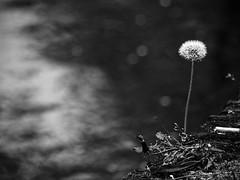 Living on the edge © Inge Hoogendoorn (ingehoogendoorn) Tags: dandelion paardenbloem paardenbloemen dandelions bloem flower bloemen lente flowers spring voorjaar water green groen lonely alone solo alleen onmyone edge rand ophetrandje bokeh scherptediepte shallowdepthoffield