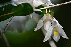 Hanging Dove Orchids (bmasdeu) Tags: hanging orchid garden white flower beauty life