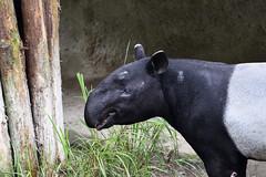 Malayan Tapir (馬來貘) (scv1_2001) Tags: nikon nikon70200mmvrii nikond750 taiwan taipeizoo 台北市立動物園