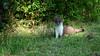 QV4A8436b (RobJHarrison) Tags: stoat unitedkingdom england curryrivel backlane nature mammals exportflag