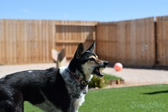 (GothyFaery) Tags: dog bubbles snarl openmouth cattledog cute eat