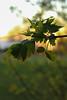 07 - Natural Light-4 (naomisimms42) Tags: rim light rimlight leaf golden sunset green nature outside spring