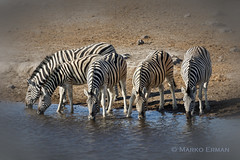 Let's have a drink! (marko.erman) Tags: namibia etoshapan park safari animals wild wilderness wildlife zebras waterhole drinking sony africa