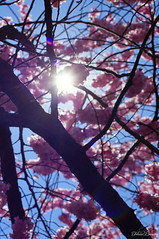 Cherry Blossom (Felicia Brenning) Tags: cherry blossom cherryblossom cherrytree sakura sakurablossom flowers pink colors colours colorful tree flower nature spring pretty outdoors outside beautiful sunlight sun light kungsträdgården stockholm sweden scandinavia sony