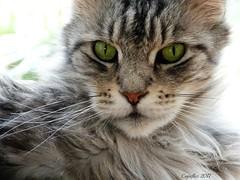 Floris:  I am 11 years now. (11th of May) (Cajaflez) Tags: kat kater katze chat gatto huisdier pedigree raskat mainecoon birthday verjaardag 11jaar 11year floris tomcat coth5