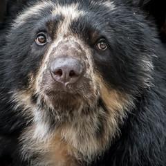 Serious Alba  [In Eplore 5/10/17] (helenehoffman) Tags: spectacledbear bear alba conservationstatusvulnerable mammal sandiegozoo ursidae southamerica carnivore andeanbear tremarctosornatus specanimal animal
