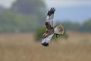 Marsh harrier - The wild is cruel
