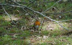 European Robin (p.mathias) Tags: uk england surrey bird birds wildlife nature outdoors outside robin europe ground green