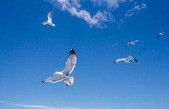 Seagulls (GiovanniZanotti) Tags: ski bird wildlife seagul sea seagull seagulls moment details sony may italy toscana italia uccelli blue