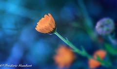 looking for the light in Barcelona (frederic.gombert) Tags: flower flowers light sun sunlight garden color colors macro nikon d810 105mm blue orange