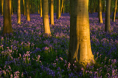 Elephant Feet (Stu Meech) Tags: badbury clump national trust sunrise beech trees oxfordshire nikon d750 stu meech