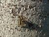 Skorpionsfliege 2/2 (four-hearts) Tags: natur baum pflanze tier insekt frühjahr frühling baumrinde rinde baumstamm stamm skorpionsfliege schnabelfliege oberfläche lebewesen holz schatten licht sechsfüser fluginsekt neuflügler tarnung struktur muster
