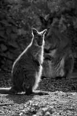 backlight (rondoudou87) Tags: pentax k1 monochrome nature natur noiretblanc noir blanc black blackwhite wildlife wild white wallaby light lumière parc zoo reynou