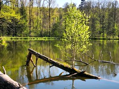 Stammbaum (almresi1) Tags: lake tree wood wald forest water spring